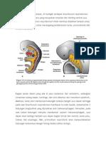 Embrogenesis Sistem Respirasi