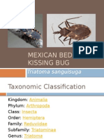 Mexican Bed Bug