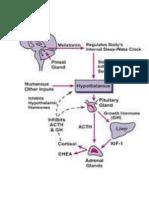 Regulasi Dan Fisiologi Hormon Tiroid