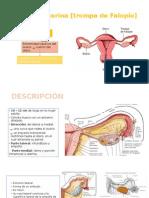 Trompa uterina - ANATO.pptx