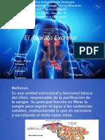 Diapositiva Del Aparato Excretor