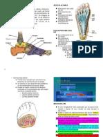 Pie Anatomia