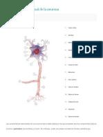 Organización Funcional de La Neurona