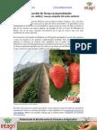 Produccion de Fresas en Macrotuneles