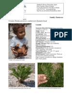 Zamia integrifolia - Coontie