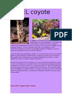 El Coyote Es Un Miembro de La