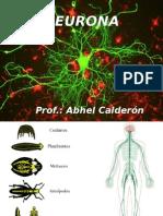 Neurona - fisiologia