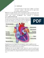 Anatomia Aparatului Cardiovasculat