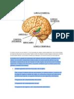 El Cerebro Humano, el cerebr