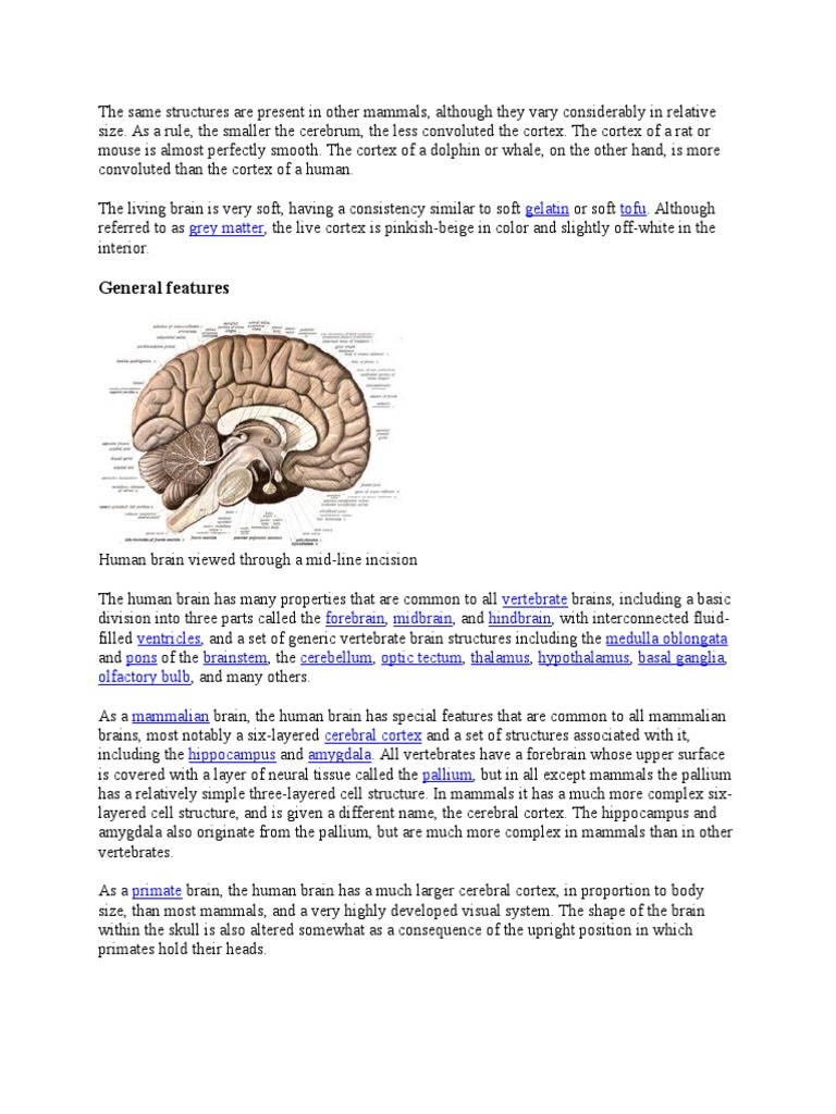 The same structures are present in other mammals human brain brain ccuart Images