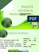 Graminea Panicum maximun