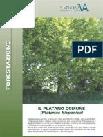 Forestazione Con Platano