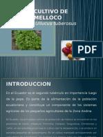 cultivo de melloco.pptx
