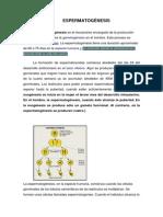 ESPERMATOGÉNESIS.pdf