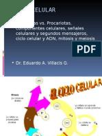 CICLO CELULAR. Mitosis y Meiosis