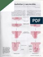 7 Glandulas y Secrecion1