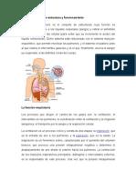 Sistema respiratorio estructura y funcionamiento.docx