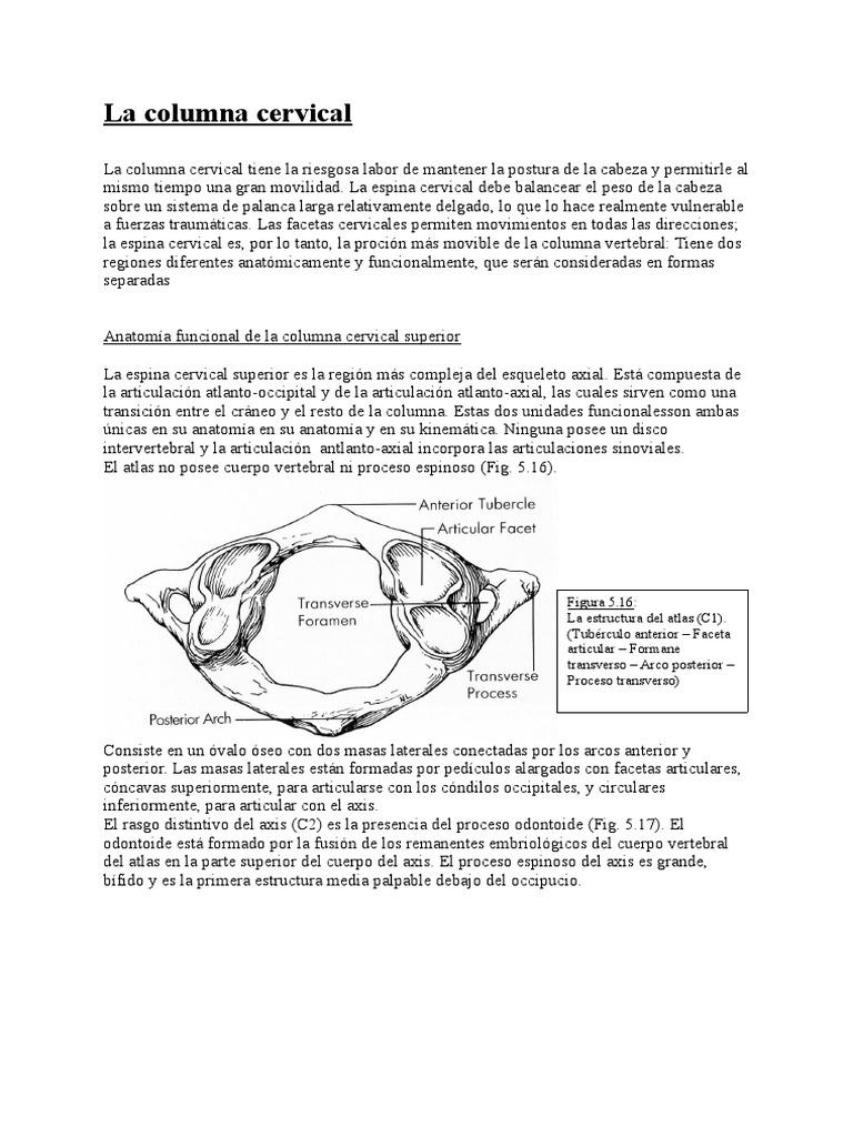 La columna cervical