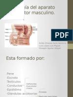 Semiología Del Aparato Reproductor Masculino