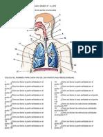 Actividad de Ciencias Naturales Aparato Respiratorio Crucigrama
