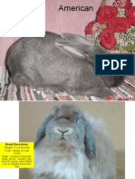 Rabbit Powerpoint