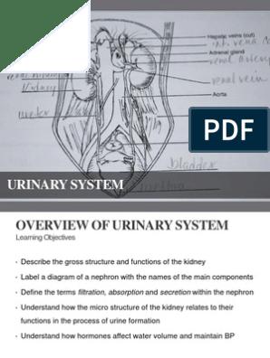2 0 Urinary System | Kidney | Urinary System
