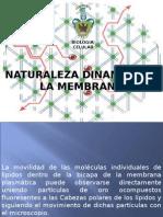 6.- Naturaleza Dinamica de La Membrana