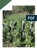 Agricultura en centro america yGuatemala