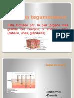 Sistema Tegumentario Grey Vergara(1)