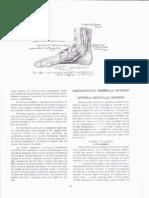 Vascularizatia Mambrului Inferior - Ranga