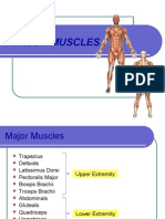 Major Human Muscles