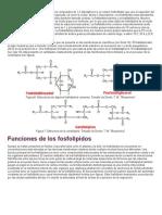 Los Fosfolípidos Son Lípidos Iónicos Polares Compuestos de 1