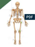 Esqueleto y sus salientes óseas.