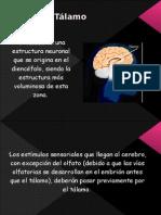 Eltálamoes Una Estructura Neuronal Que Se Origina