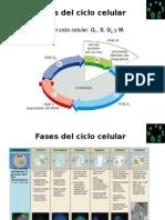Ciclo Celular y Mitosis