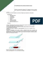 Celulas y Organos Del SI