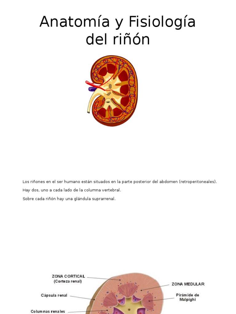 Anatomía y Fisiología Del Riñón