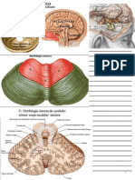 Apostila  de anatomia - Cerebelo Power Point