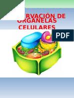 Labo 5 Organelas Celulares