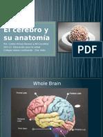 El Cerebro y Su Anatomía