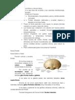 5.Cráneo