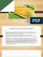 Siembra de Transgenicos en Mexico
