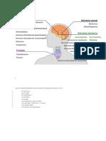 Las Principales Glándulas Que Componen El Aparato Endocrino Son