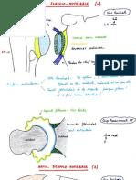 Articulation scapulo-humérale (épaule)