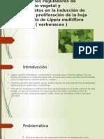 cultivo in vitro de Lippia multiflora