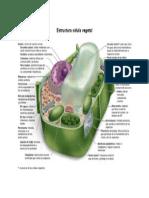 Estructura Célula Vegetal