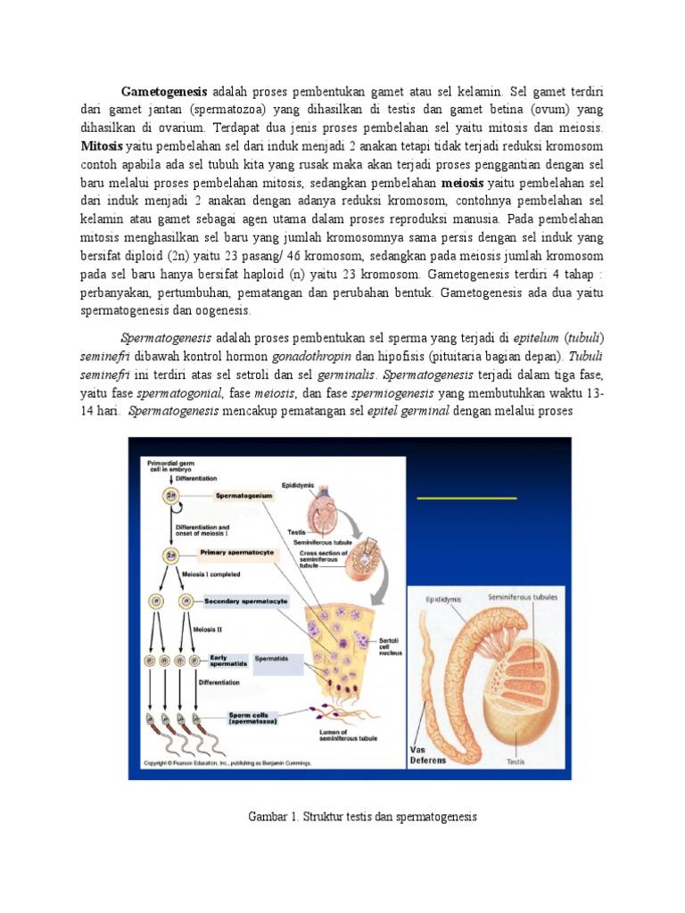 Spermatogenesis dan oogenesis ccuart Image collections