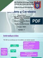Cerebro y Cerebelo[1]