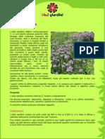 Coltivazione ErbaCipollina