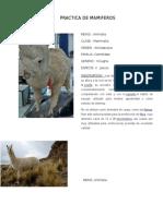 PRACTICA DE MAMIFEROS.docx